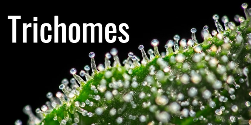 Why Do Trichomes Exist on Cannabis?